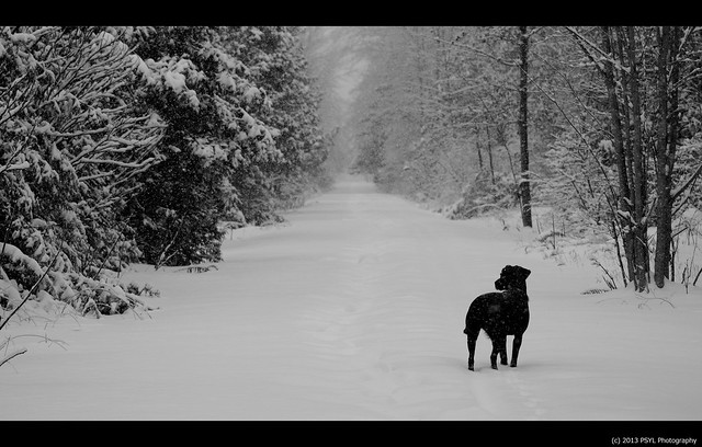 Black dog in a white forest