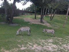 zoo, zebra, plain, fauna, park, wildlife,