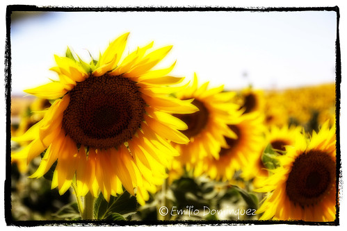 girasoles_1 by edogafotos
