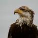 Bald Eagle - Sooke BC by Pepampa's Pics