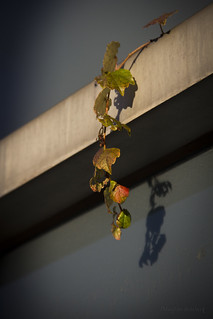 Hanging ivy on Engineering Building