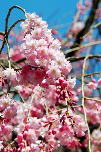 Nagoya Castle Sakura 063r