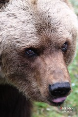 Brown Bear Olga's CloseUps