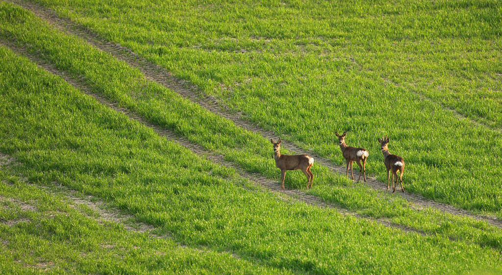 Three Roe deer in field