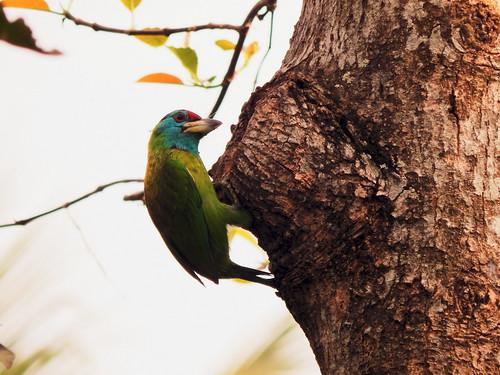 blue red india white green nature birds nikon asia wildlife safari jungle birdwatcher westbengal barbet bluethroatedbarbet
