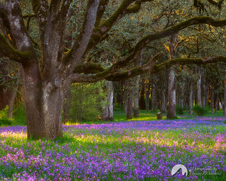 Camas. Bush's Pasture Park, Salem, Oregon