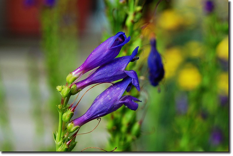 one-sided Penstemon(Len's garden) 1