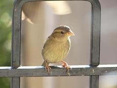 atlantic canary, animal, yellow, fauna, emberizidae, beak, bird,