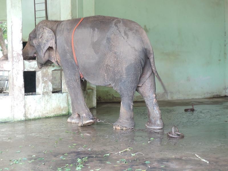 Elephant straining on chain