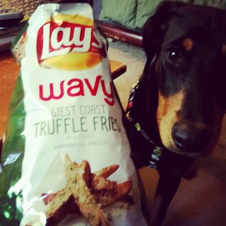 Yes Penny, these just might be the best weird flavor #lays yet!  #westcoasttrufflefries #laysflavors #chips #foodie #foodstagram #instafood #puppygram #instapuppy #dobermanpuppy #rescuedpuppiesofinstagram #puppiesofinstagram #adoptdontshop #dobiemix