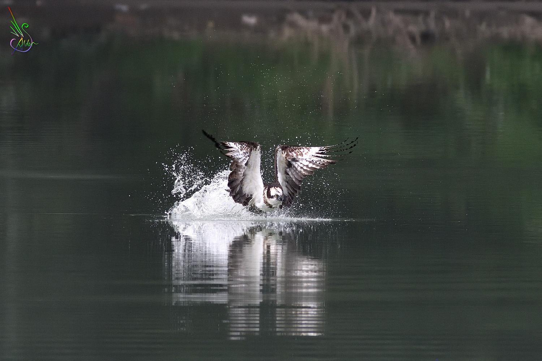 Osprey_2381