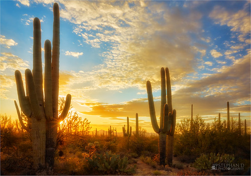 arizona flowersplants landscape saguaro saguaronationalpark stephandphotography2016 sunset tucson usa
