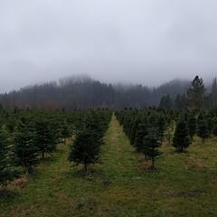 #christmas #treefarm again, #PNW #moody #lowclouds #carnation #valley #foothills #christmastree #tree #farm