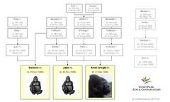 Gorilla Family - Saint Paul 2