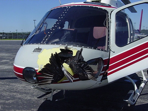 Bird strikes to civil and military helicopters resulted in 61 human injuries and 11 lost lives since 1990. Photo by USDA Wildlife Services, Kendra Cross
