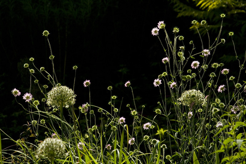 Backlit Knautia