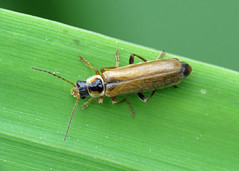 Soldier Beetle - Cantharis decipiens