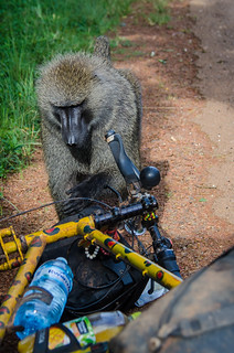 Inquisitive Baboon