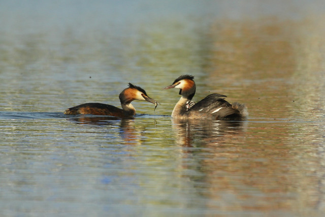 Great Crested Grebe- Happy Families