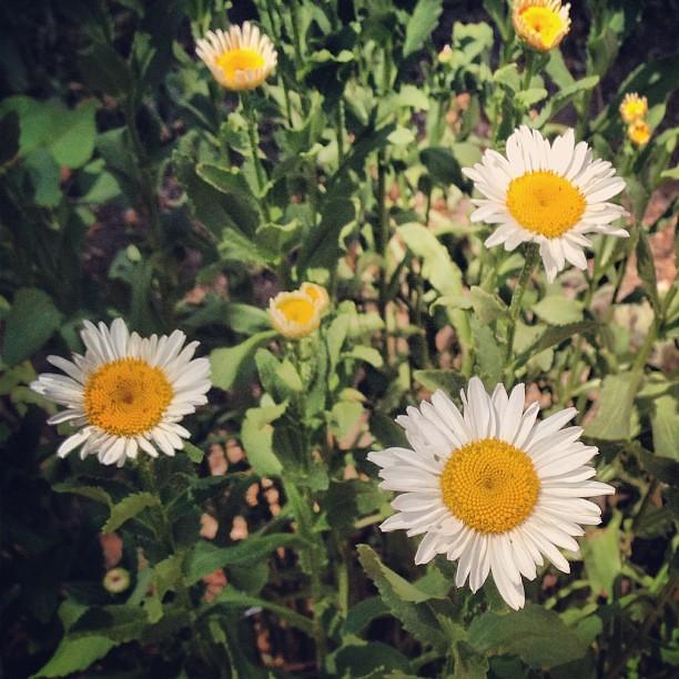 Day191 Daisies :) 7.10.13 #jessie365
