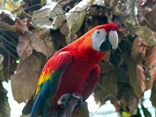 緋紅金剛鸚鵡受到黑市的影響,在哥斯大黎加族群數量相當少