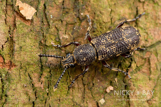 Fungus weevil (Xylinada sp.) - DSC_4089