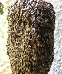 pollinator, animal, honey bee, brown, invertebrate, membrane-winged insect, bee, beehive,