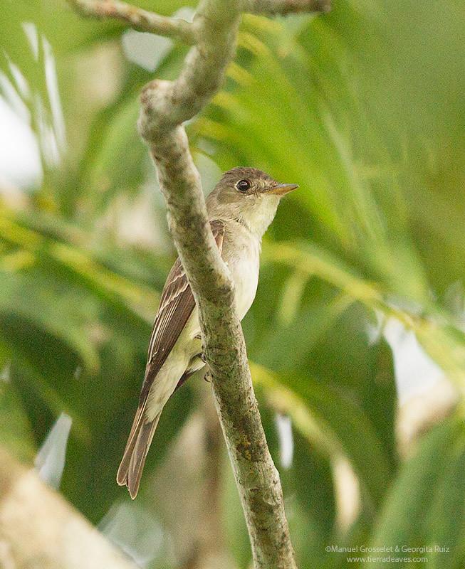 Alder-Flycatcher8659
