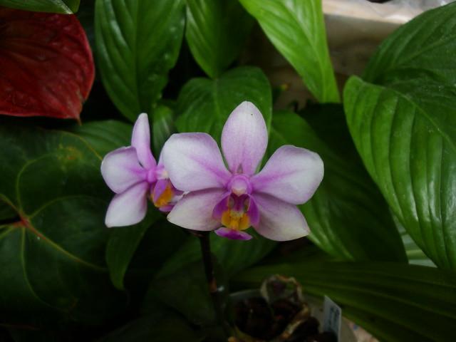 Phalaenopsis Amabracea (amabilis x honghenensis) 9920523756_4877ce4fa0_z