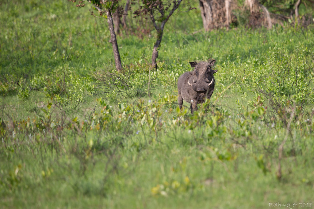 Warthog near St. Lucia South Africa