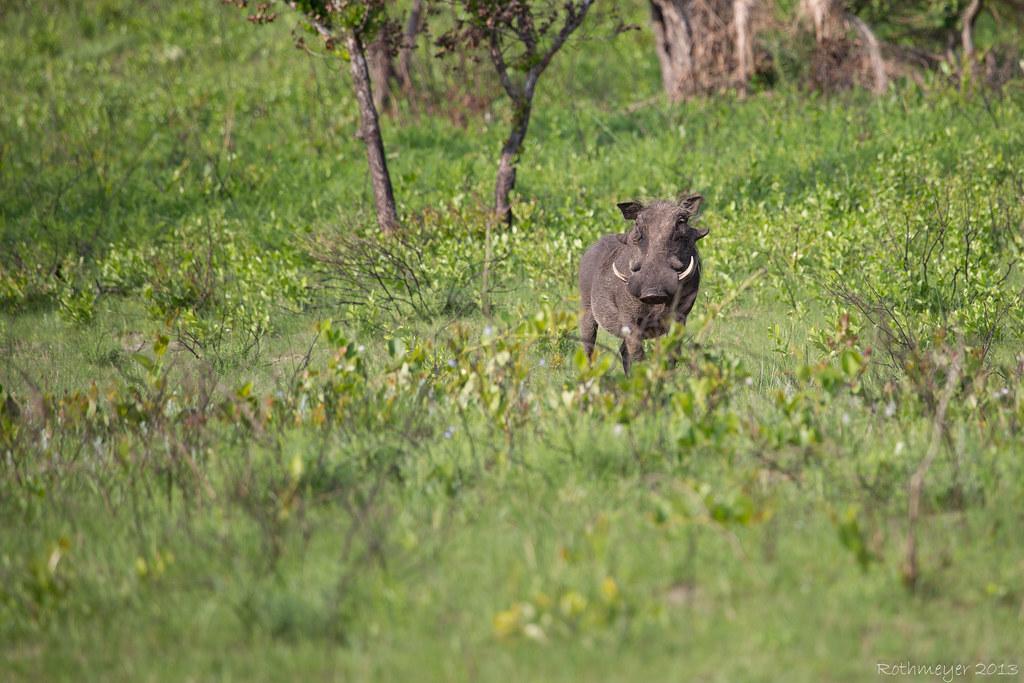 Warthog near St. Lucia South Africa