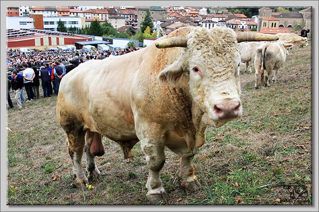 7 Feria de ganado en Potes 2013
