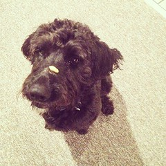 Mowgli loves when little kids come over. #macncheeseonhisnose #goldendoodle