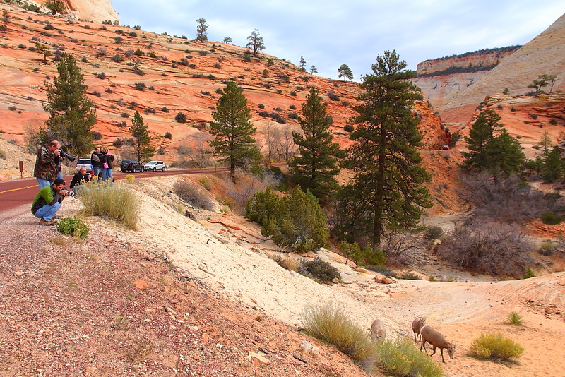 IMG_6513 Desert Bighorn Sheep