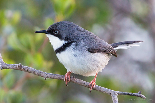 Bar-throated Apalis by andiwolfe