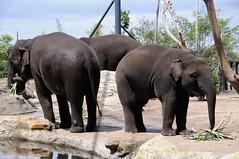 adventure(0.0), mahout(0.0), safari(0.0), animal(1.0), indian elephant(1.0), elephant(1.0), zoo(1.0), elephants and mammoths(1.0), african elephant(1.0), fauna(1.0), wildlife(1.0),