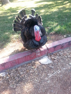 Wild Turkey Loose in Hart Park