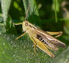 leafhopper(0.0), arthropod(1.0), locust(1.0), animal(1.0), cricket(1.0), invertebrate(1.0), insect(1.0), macro photography(1.0), grasshopper(1.0), fauna(1.0), true bugs(1.0),