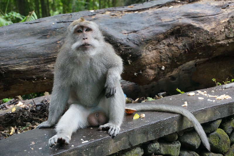 Relaxed monkey at the Monkey Forest, Ubud