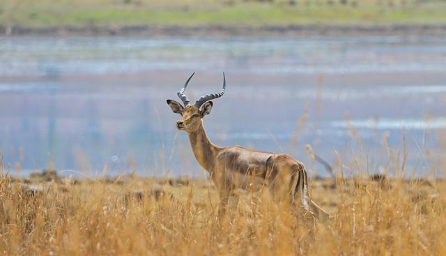 Impala en el Parque Nacional Pilanesberg. Sudáfrica.