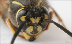 arthropod, animal, wasp, honey bee, invertebrate, insect, macro photography, fauna, close-up, hornet, bee,