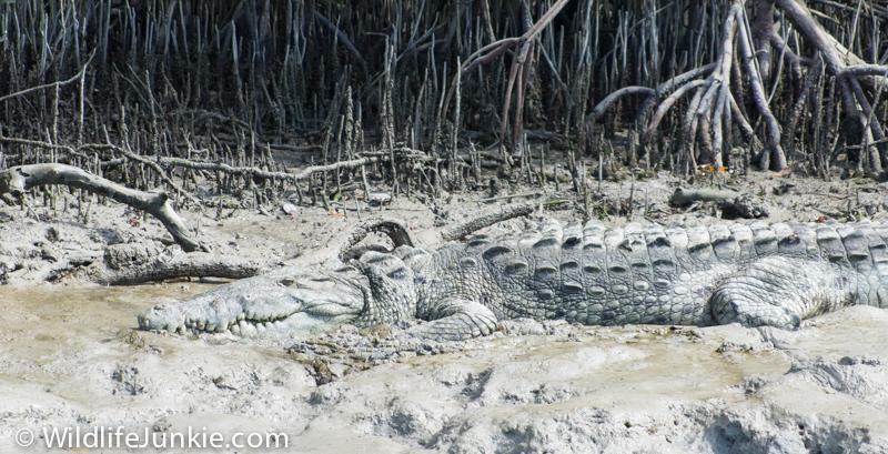 Florida Crocodile