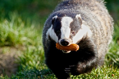 Badgers Breakfast by McShug