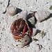 IMG_3673 Diogenes Hermit Crab - Coenobita clypeatus