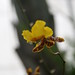 yellow maroon orchid