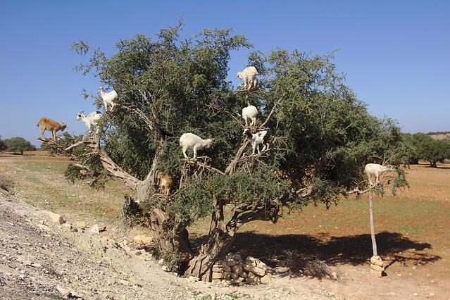 237 - Camino a Essaouira