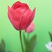 Tulipán by ☼ Mrs ☼