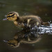 Racing Baby Duck - Highly Commended in BWPA 2014 by Oliver C Wright