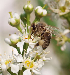 A honey bee working on on a cherry laurel 3.