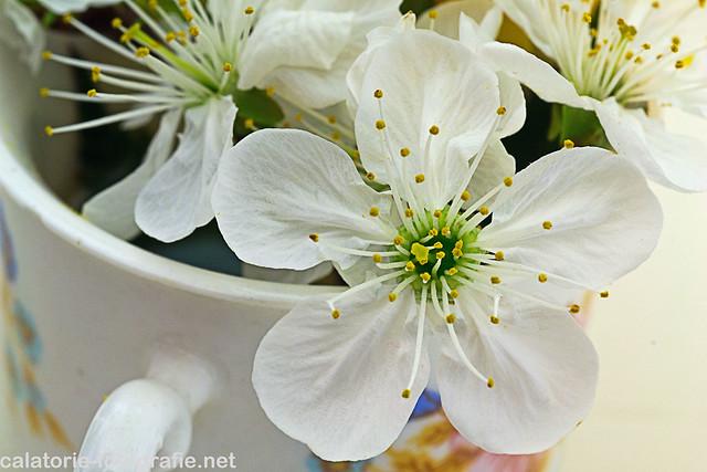 Delicatețea florilor de cireș. Experimente macro de primăvară cu obiectivul de 60 mm 13903126933_96cdf61a7f_z